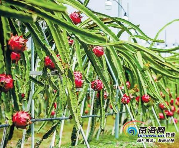 东方市将建全省最大食用菌生产基地特色农业富东方